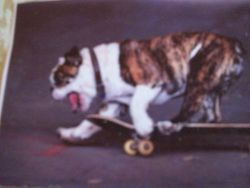 Fine Crafts - Skateboarding Bulldog Jigsaw Puzzle