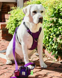 Your Pefect Puppy - Your Perfect Harness - Purple X - Small